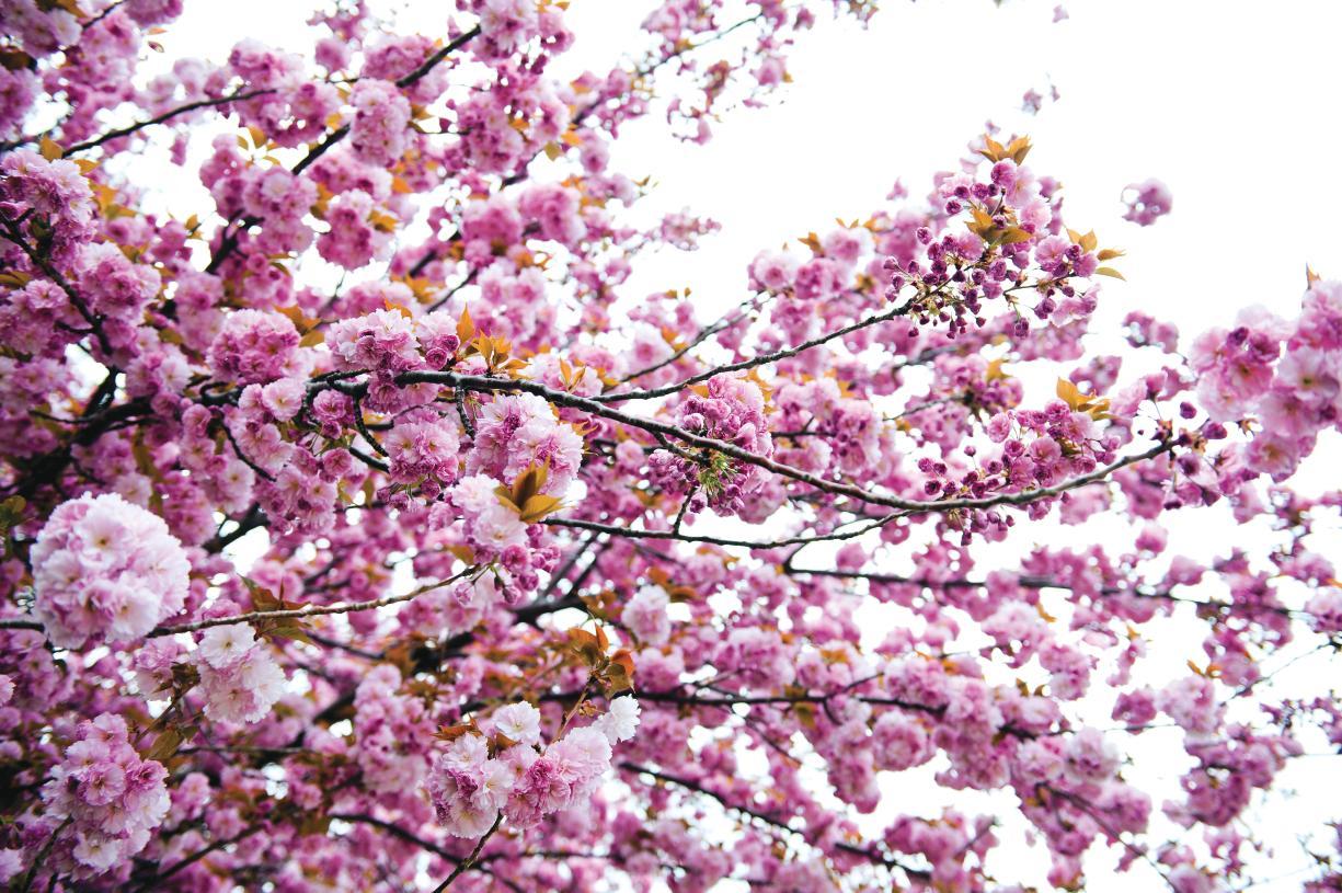 Washington DC's famous cherry blossoms